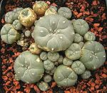 250px-Lophophora_williamsii_ies