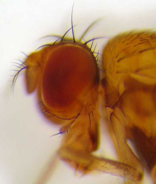 Drosophila_residua_head