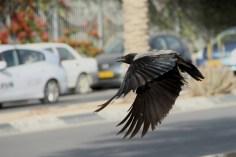 le vol du corbeau