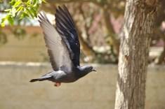 c'est beau un pigeon 2 !