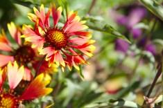 Les fleurs du jardin sont vraiment de toute beauté et offrent au visiteurs, qui n'a accès malheureusement qu'a une petite partie, a cadre magnifique