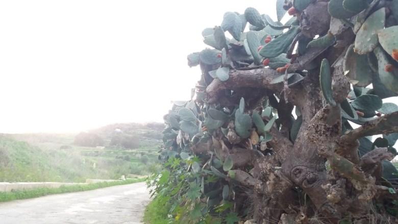 malta_gozo-si-cactusii