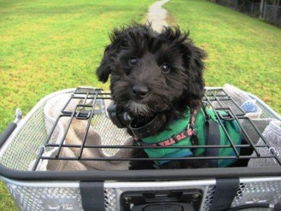 Here is a dog in an Axiom Dual Function Premium Pet Bike Basket. Notice how the spring loaded top keeps the dog secure in the basket