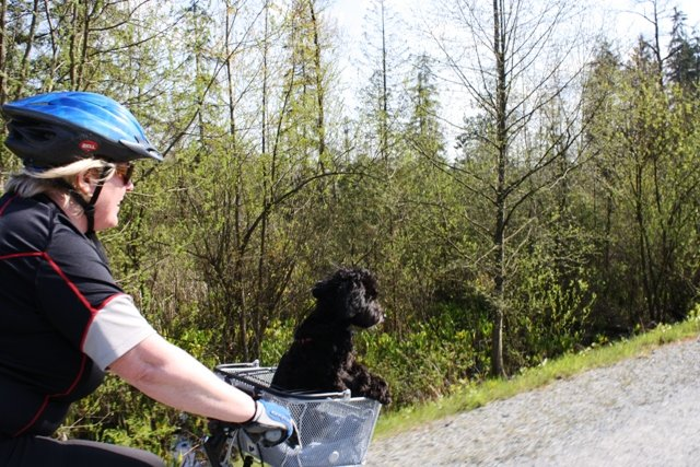 How to Gently Train Your Dog to Go On Bike Rides With You. Your dog's brain will be working overtime while you are training him to ride in a pet basket on your bike. Make sure you do not overdo it!