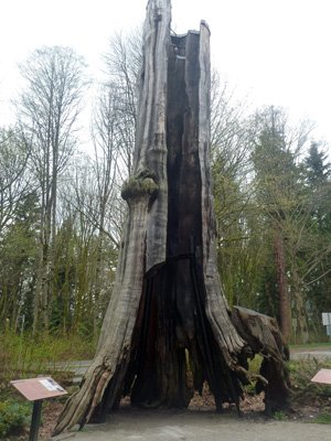 Vancouver cycling - Stanley Park - On your way up to Prospect Point, stop to admire the hollow tree
