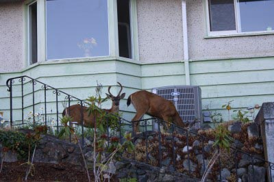 Deer in someone else's front yard