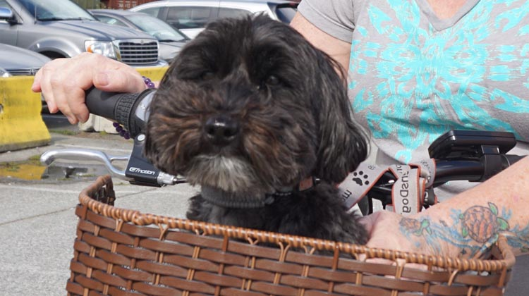 Billy actually LIKES riding in his wicker pet basket! How to Carry your Dog Safely on Your Bike in a Pet Basket