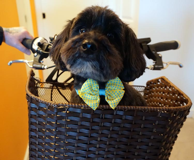 Billy looking handsome in his wicker pet basket. How to Carry your Dog Safely on Your Bike in a Pet Basket