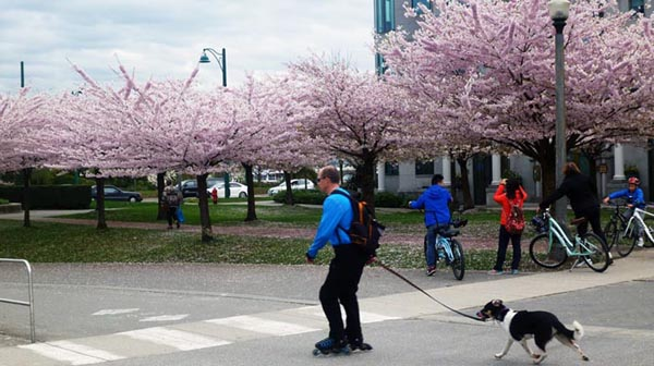 If you cycle along the Seaside Bike Route in spring, you will see spectacular cherry blossoms