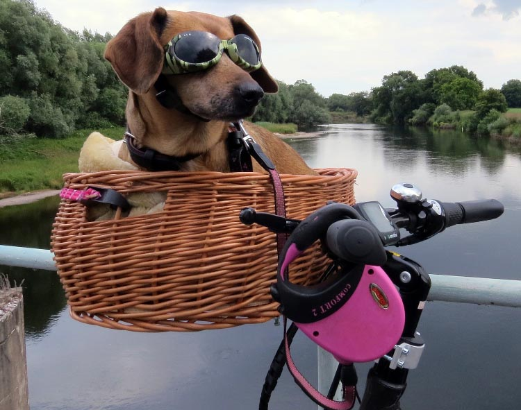 Complete Guide to Taking Your Dog on Bike Rides in a Bike Basket. Important safety note: When transporting your pet in a pet basket, always make sure they cannot hurt themselves by jumping out