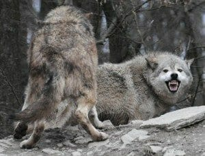 wolf sounds