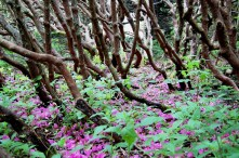 Rhododendron Trunks & Spent Blooms, Roan Mountain, Tennessee