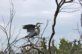 Great Blue Heron in the Okefenokee Swamp, Georgia