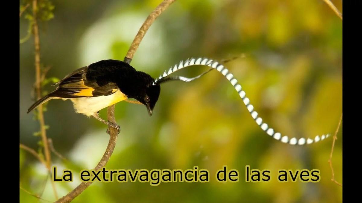 aves extravagancia
