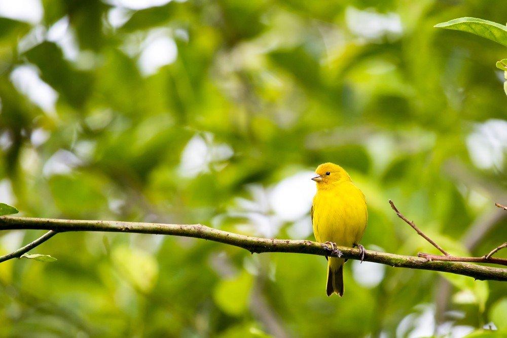 Canarios El ave domstica ms abundante del mundo