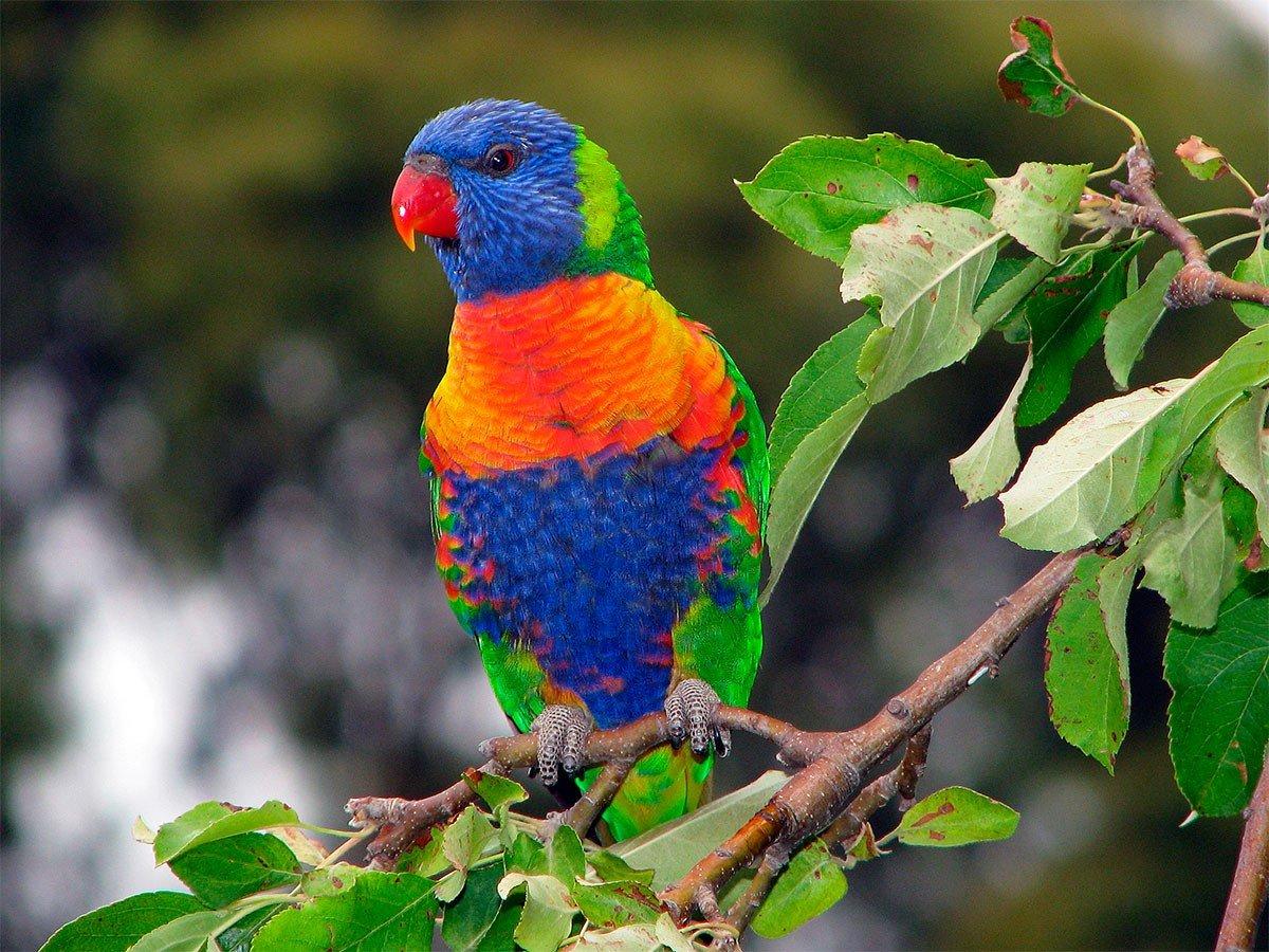 Loro arcoiris  Aves Exticas