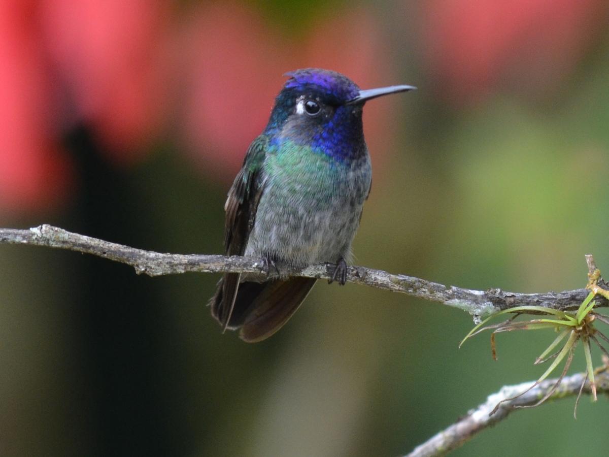 Colibr de cabeza violeta  Aves Exticas