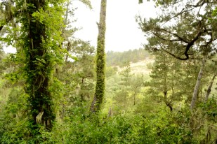 forest vines, Cambria California