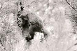 black and white squirrel and pine cone, Cambria California