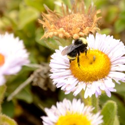 fuzzy bee, miniature flower, Cambria California