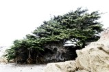 Cypress tree with roots exposed, Cambria California