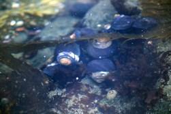 Round black seashells underwater, Cambria California