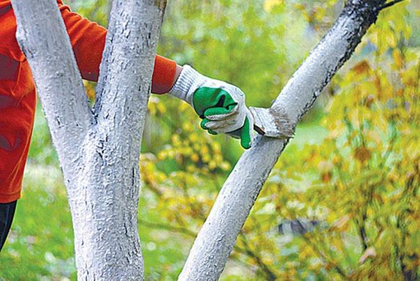 побелка деревьев осенью
