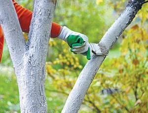Подготовка сада к зиме: чем опрыскать, побелить