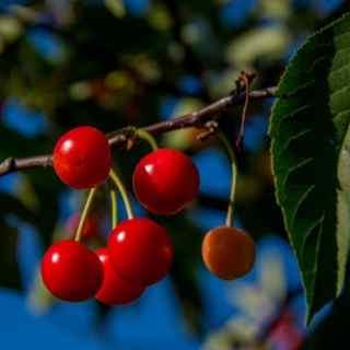 Уход за вишней – приёмы агротехники