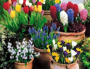 Как вырастить тюльпаны и крокусы в горшке к празднику