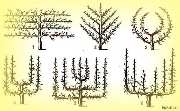 Формировка киви в открытом грунте