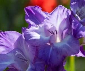 Уход за гладиолусами до и после цветения