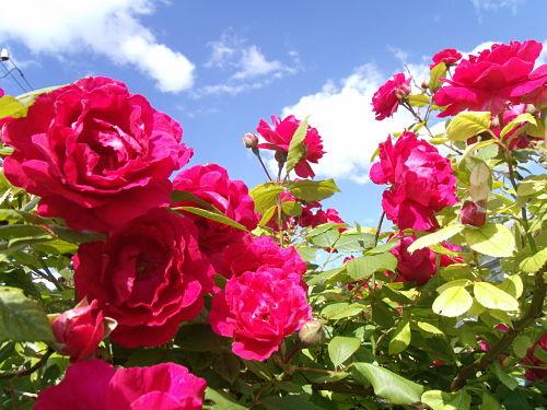 Чем подкормить садовые розы