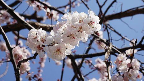 Подкормка абрикосов весной