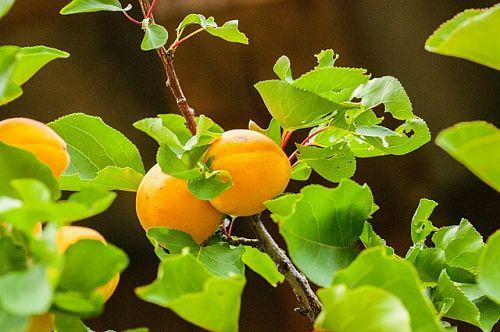 Полив абрикоса весной: можно ли поливать деревья во время цветения и как часто нужно это делать после
