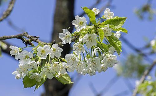 обработка деревьев весной в фазе зеленый конус