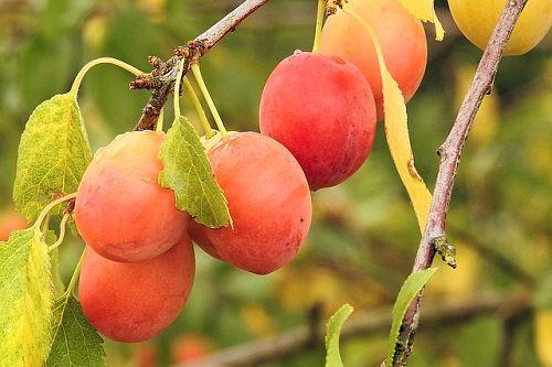 Алыча: как выбрать здоровый саженец и правильно посадить