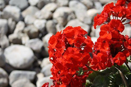 Чем полить герань для пышного цветения