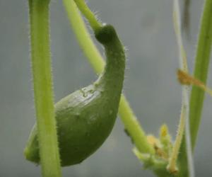 Чем подкормить огурцы в теплице