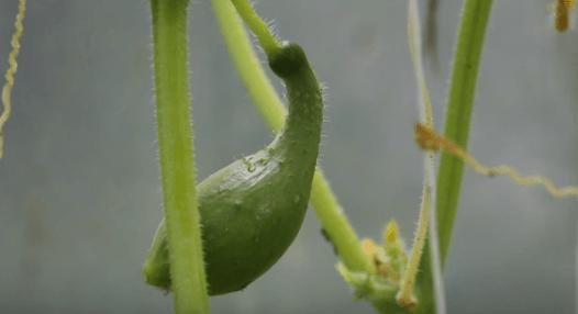 подкормить огурцы в теплице