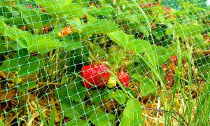 Как защитить клубнику от птиц: доступные способы