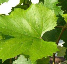 Как сажать виноград осенью саженцами