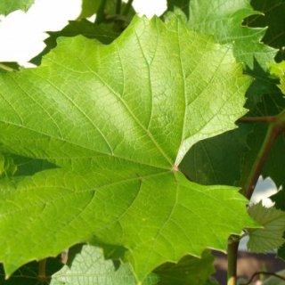 Посадка саженцев винограда осенью пошагово