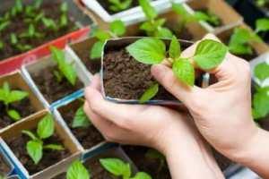 Как вырастить здоровую и крепкую рассаду