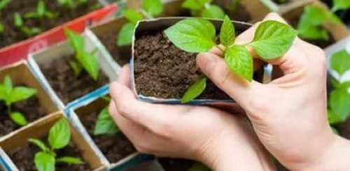 как ухаживать за рассадой