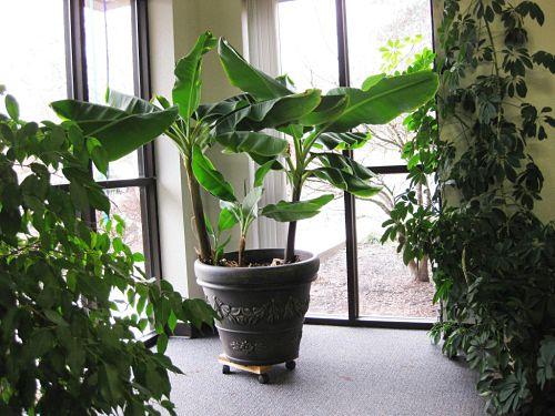 Выращиваем карликовый банан в квартире. Почему он не плодоносит