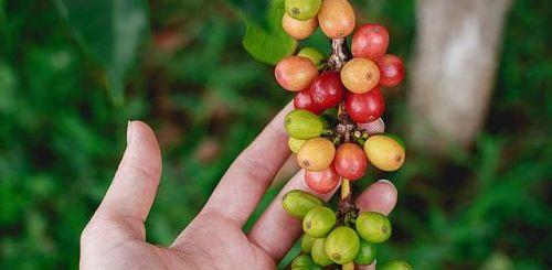 Уход за кофейным деревом