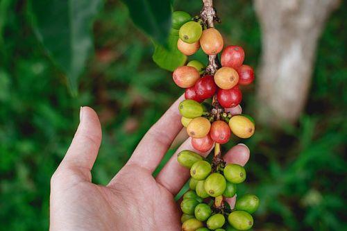 Кофейное дерево: особенности выращивания