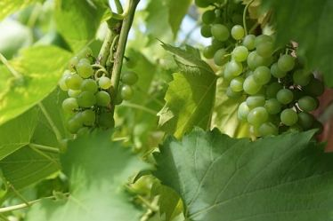 Опрыскивание винограда по Курдюмову