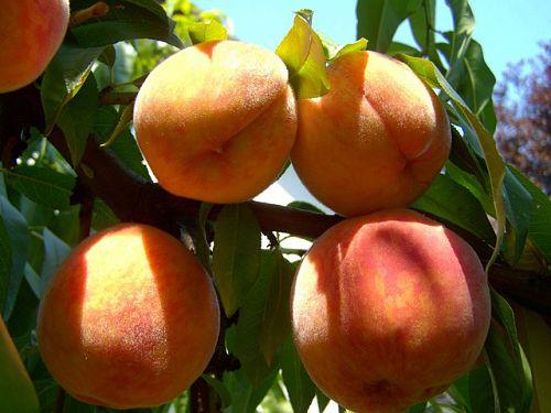 Медный купорос персик